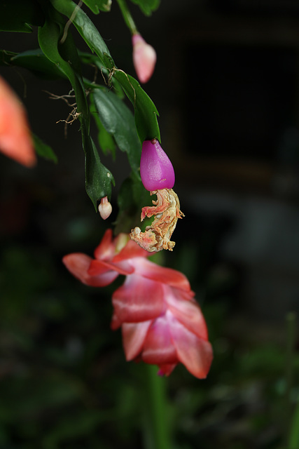 Schlumbergera (5)