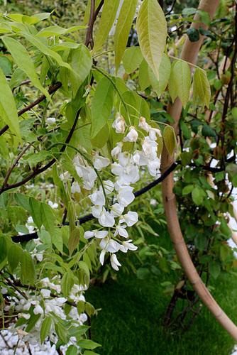 Le parfum du blanc- Jardin 19 -Wisteria brachybotrys 'Shiro Kapitan Fuji '