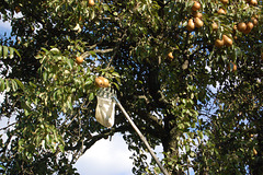 piroplukado (Birnenpflücken)