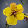 Moth Mullein Covered with Raindrops