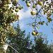 pomoj (Äpfel)