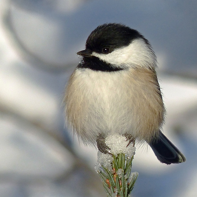 Thank heavens for Chickadees