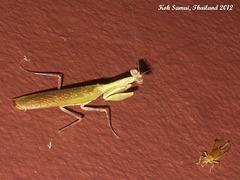 11e A Praying Mantis: Tenodera aridifolia?