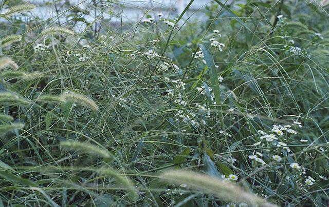 Daisy and green bristle grass
