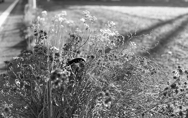 Grasses on the road edge