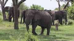 Eléphants du Parc National d'Arusha