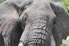 Eléphant du Parc National d'Arusha