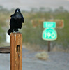 Raven At Stovepipe Wells (3430)