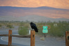 Raven At Stovepipe Wells (3431)