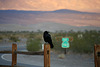 Raven At Stovepipe Wells (3432)