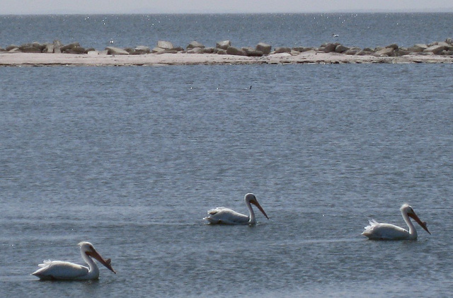 Salton Sea Pelicans (0825a)
