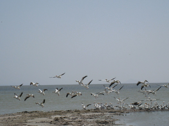 Bombay Beach Pelicans (0843a)