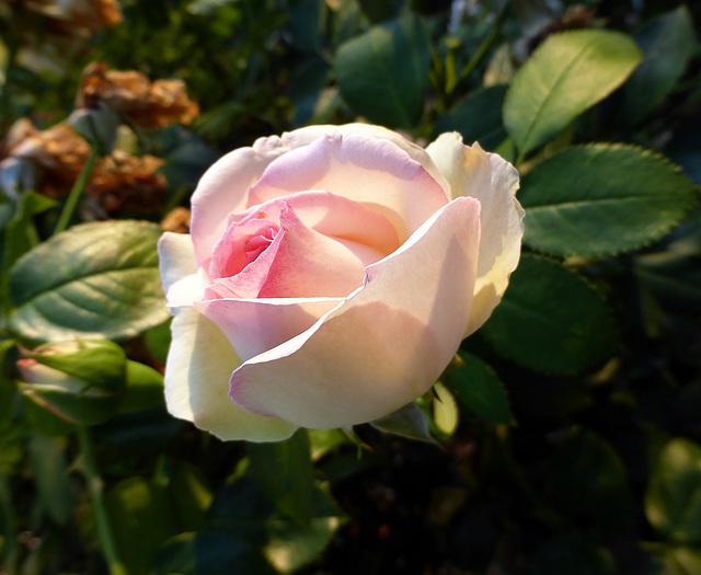 una rosa di Cate