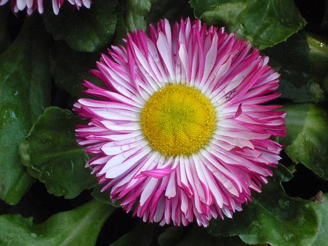 Flor tricolor JJ