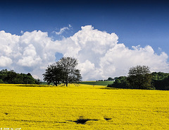 Raps und Wolken - Rapeseed and clouds (015°)