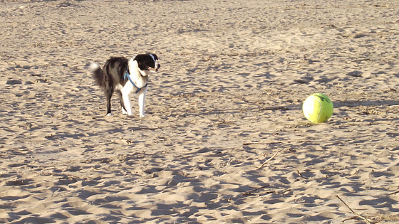 Waiting for his master to kick the ball