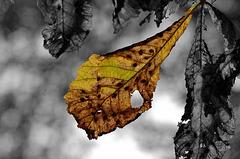 BESANCON: Parc Micaud: Une feuille de marronnier ( Aesculus hippocastanum ).