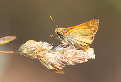 Small Skipper butterfly - East Blatchington Pond - 22.7.2013