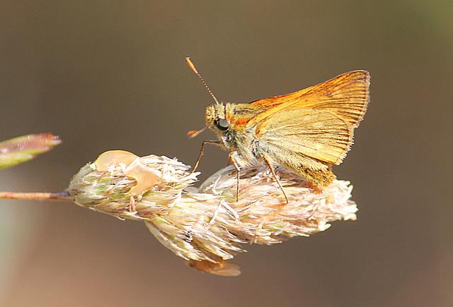 Small Skipper butterfly - East Blatchington Pond - 22.7.2013