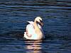 Mute swan, Northumberland.