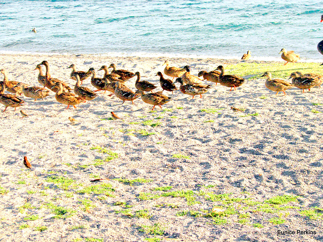 A flock at Lake Taupo