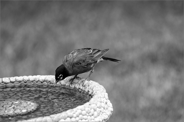 Robin at his Birdbath