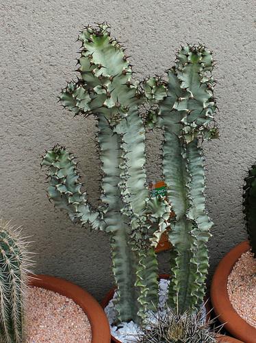 Euphorbe erythraea variegata