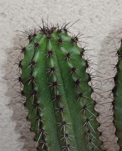 Stenocereus thurberi
