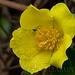 Climbing Guinea Flower