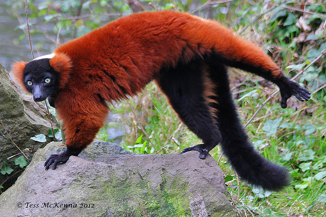 Red Lemur 102 copy Explore