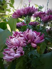 crisantemi chez Vanda