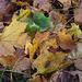Damp Maple Leaves