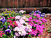 Sweet William and Pansies