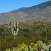Desert Landscape with Saguaro
