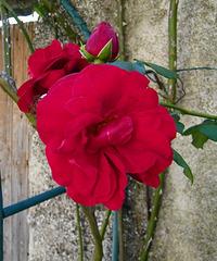 Rose de rouge de chez moi...