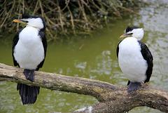 Cormorans pie (Australie)