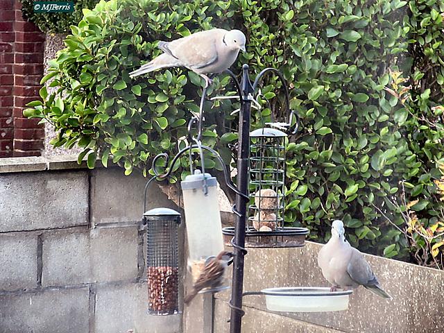 01 Collared dove