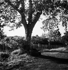 Oak In Suburbia