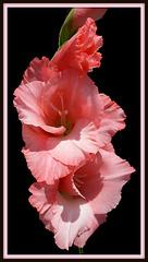 Sword Lily (Explored)