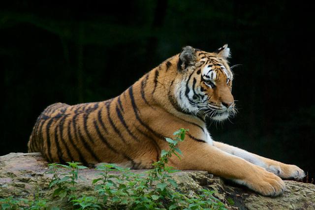 Tiger at Jurques Zoo - September 2011