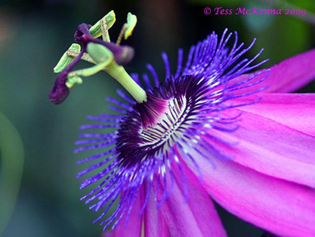 Passiflora Lavender Lady  4 047 copy Explore