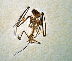 Fossil bat DSC 7565