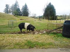Banded pig