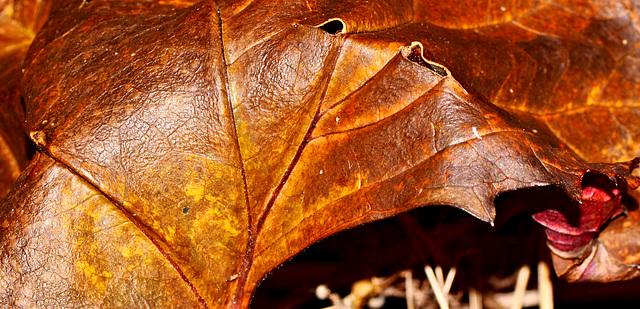 Leatherlike leaf 001