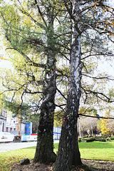 Betula verrucosa  (2)