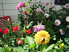 Dahlias and poppies