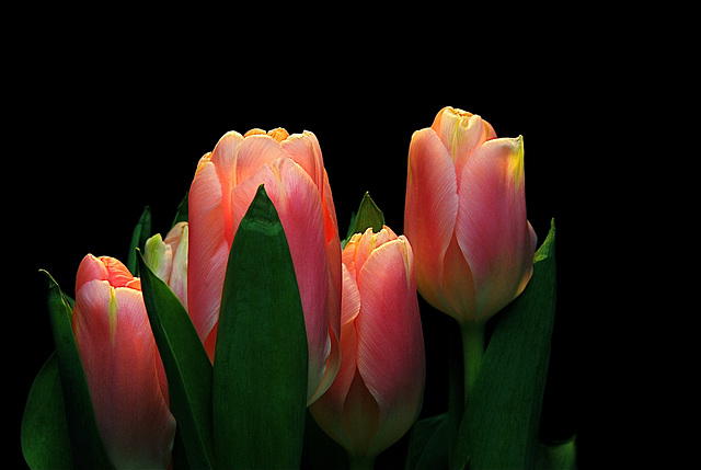 Just Another Tulip.............