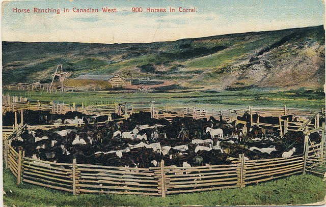 Horse Ranching in Canadian West. -- 900 Horses in Corral.