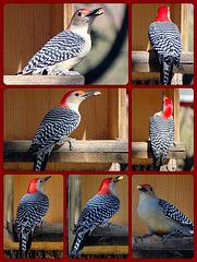 Woodpecker ~ Red Bellied Woodpecker Collage