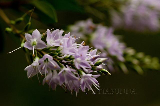 Mauve Blossoms